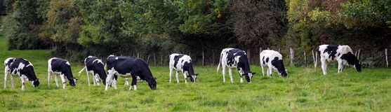 Black and white cows in a meadow.  royalty free stock photo