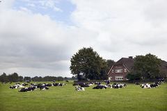 Black and white cows in meadow near farm house in the netherland Stock Image