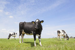 Black and white cows in meadow in the netherlands with blue sky Stock Images