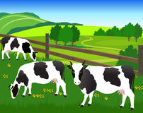 Black-white cows on the pasture. Royalty Free Stock Images