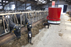 Black and white cows in stable feed from feeding robot Royalty Free Stock Photo