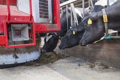 Black and white cows in stable reach for food from feeding robot Royalty Free Stock Photo