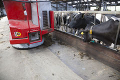 Black and white cows in stable wait for food from feeding robot Stock Photos