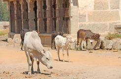 Black and white cows stand among the attractions of Hampi, India. Cow India stock photography