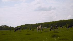 Black and white cows stare in green grassy dutch spring meadow under blue sky 4K. Black and white cows stare in green grassy dutch spring meadow under blue sky stock video footage
