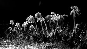 Black White Cowslip Flowers in Spring Royalty Free Stock Images