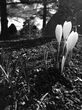 Black And White Crocus Royalty Free Stock Image