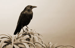 Black and White Crow on Succulent Stock Image