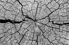Cut log wood grain. Black and white Cut log showing tree rings and cracks Royalty Free Stock Photos
