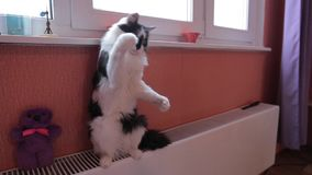 Black and white cute active cat playing with a toy. Heating system stock video