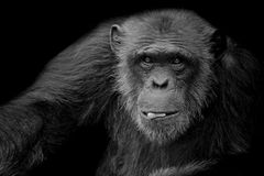 Black and White cute Chimpanzee hold peanut in his mouth on black background stock photo