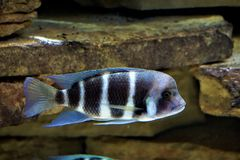 Black and white Cyphotilapia fish swimming stock images