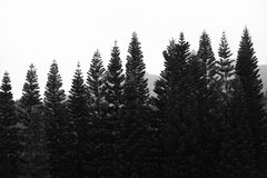Black and white cypress tree in shenzhen, china. Photo about Black and white cypress tree in Shenzhen, China. Image of lonely, morning stock photo
