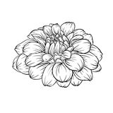 Black and white dahlia flower isolated on background. Beautiful monochrome black and white dahlia flower isolated on background. Hand-drawn contour lines. for Stock Photo
