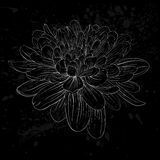 Black and white dahlia flower isolated. Beautiful monochrome black and white dahlia flower isolated. Hand-drawn contour lines and strokes. for greeting cards Stock Photos