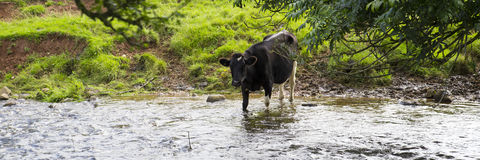 Black and White Dairy Cow standing in a stream of running water Stock Images