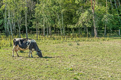 Black-and-white dairy cows grazing on the site for summer cows in the Mezhyhirye tract near Kiev. We see a large corral for summer cattle walking in Mezhyhiria stock illustration