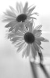 Black & White Daises. A black and white soft focus image of daises in a glass Stock Images