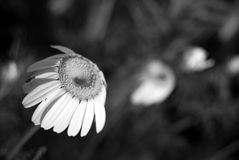 Daisies in a row (black and white) Royalty Free Stock Images