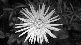 Black and White Daisy Royalty Free Stock Images