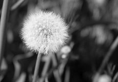 Black and White Dandelion Stock Photography