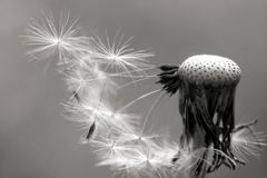 Black and white dandelion. Dandelion in black and white stock illustration