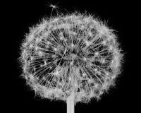 Black and white dandelion. On dark background Stock Photography