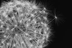 Black and white dandelion. Closeup Royalty Free Stock Photos