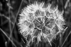 Black & White Dandelion seed head Stock Photo
