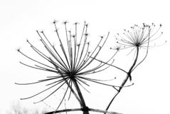 Black and white dandelion royalty free stock image
