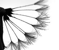 Black and white dandelion with water drops Stock Image