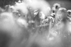 Black and white dandelion yellow flowers peeking through grass royalty free stock images