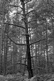 Black and white dead tree in fontainebleau forest. Fontainebleau forest in the french gâtinais regional nature park Royalty Free Stock Images