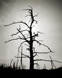 Black and White Dead Tree Royalty Free Stock Image