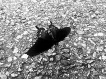 Afterlife When Butterflies Die. Black & White. Death after life. Captured before whisped away to the unknown destination of reincarnation, who knows how long it stock image