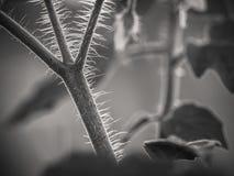Black&white della pianta di pomodori fotografia stock libera da diritti