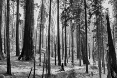 Black and White Desolate Landscape Burned Trees After Fire stock photos