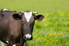 Black and white diary cow grazing on lush grass Stock Photos