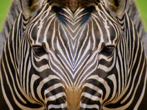 Black and White Diversity. Mirrored image of zebras depicting concept of black and white diversity stock images