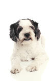 Black and white dog Royalty Free Stock Photos