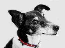 Black and White Dog. A black and white foxy terrier dog with a red collar Royalty Free Stock Images