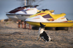 Black and white dog on the beach. Black and white dog on the beach Royalty Free Stock Photography