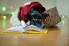 Black-white dog bespectacled and in a reindeer suit put paws on the open book. Stock Photo