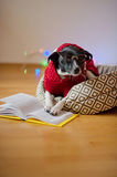 Black-white dog bespectacled and in a reindeer suit put paws on the open book. Stock Image