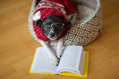 Black-white dog bespectacled and in a reindeer suit put paws on the open book. Royalty Free Stock Image