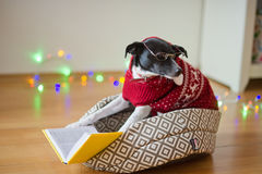 Black-white dog bespectacled and in a reindeer suit put paws on the open book. Royalty Free Stock Photos
