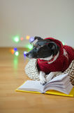 Black-white dog bespectacled and in a reindeer suit put paws on the open book. Royalty Free Stock Photography