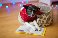 Black-white dog bespectacled and in a reindeer suit put paws on the open book. Royalty Free Stock Images