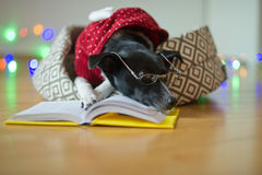 Black-white dog bespectacled and in a reindeer suit put paws on the open book. Royalty Free Stock Photo