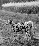 Black and white  dog biting dalmatian tail Stock Images